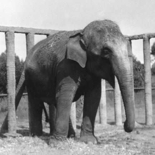 Queenie, an Asian elephant