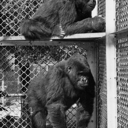 Mbongo (top) and Ngagi, both about five years old when they came to the Zoo, were a huge sensation. There were very few gorillas in zoos at that time, and very little was known about them. Experts from several different scientific fields came to San Diego to learn from them over the years.