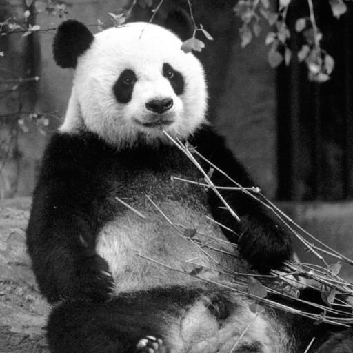 Yuan Yuan, a male giant panda, was a handful, roughhousing and trying to get into trouble. He managed to destroy the three trees in his exhibit within weeks of his arrival.