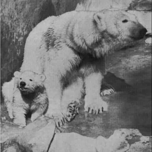 The Zoo's first polar bear cub was Taku, born in 1942. He was a big hit with visitors and had his photo published in many newspapers.