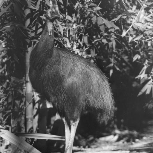 Henry, a double-wattled cassowary, had been hand raised and was considered a friendly bird. So much so, in fact, that he was often allowed to roam freely about the Zoo grounds, and would sometimes follow visitors as if escorting them—although he was probably trying to figure out if they had food in their pockets.