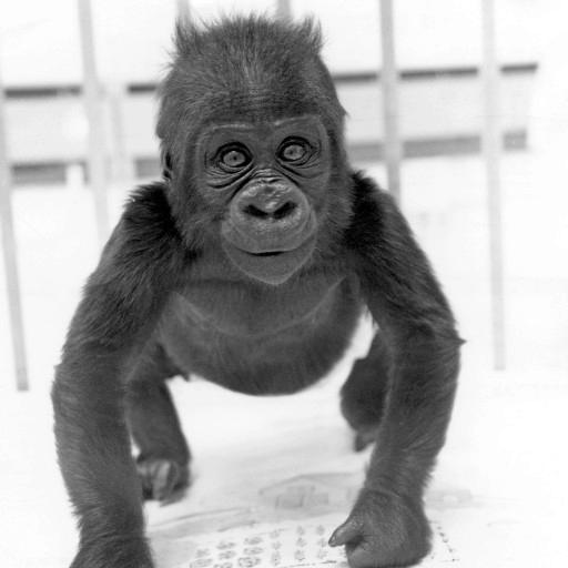 Big news in 1965 was the first birth of a gorilla at the Zoo: Alvila. She was only the seventh gorilla that had been born in any zoo worldwide. Her name was a combination of her father's, Albert, and her mother's, Vila.