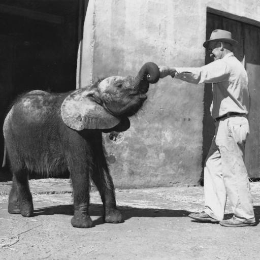 Peaches was the Zoo's first African elephant. She came to the Zoo as a one-year-old calf and spent a great deal of time with her keepers—such as Ralph