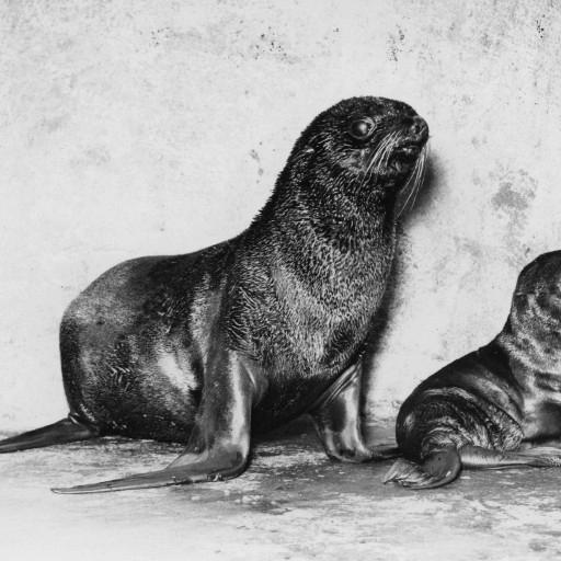 On August 8, 1948, the first northern fur seal pup in any zoo is born at the San Diego Zoo. In 1947, four northern fur seals had come to the Zoo from the Pribilof Islands, donated by the U.S. Fish & Wildlife Service to form a breeding group for behavior and reproduction studies. The species was almost extinct at one point, then put under protection, and news of the seals at the San Diego Zoo made headlines.