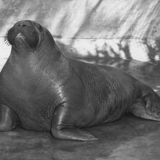 Bosco, a young walrus, came to the Zoo in 1951 and charmed visitors with his whistles, barks, and whiskered face—even if he did snarf up his food in a less-than-elegant manner. He was highlighted in a ZOONOOZ article title