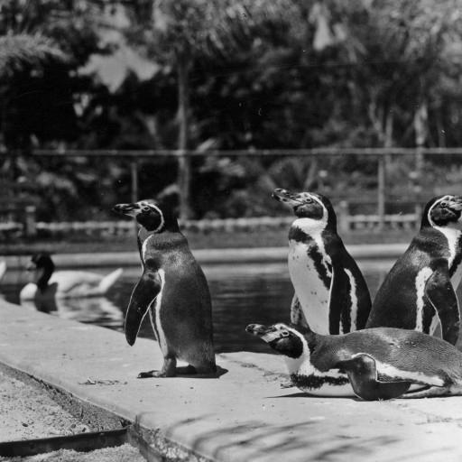 When Humboldt's penguins came to the Zoo in 1933 from the Galápagos Islands, they were to live in the Mirror Pool. But first, they stayed in the Harvester Building reptile house for a couple of months during the winter, since even San Diego's mild climate was a little too chilly that year for the warm-weather birds! Among the birds were Isadore and Isabel, who led a little
