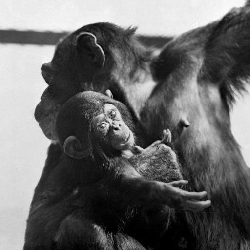 The Zoo's first chimpanzee birth took place on February 22, George Washington's birthday—so, of course, Katie's son was named George.