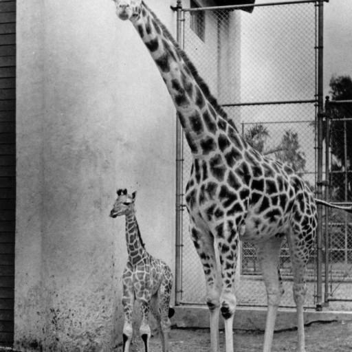 Because he was born on June 6, 1944, the day of the invasion of Normandy, the Zoo's newest giraffe was named D-Day.