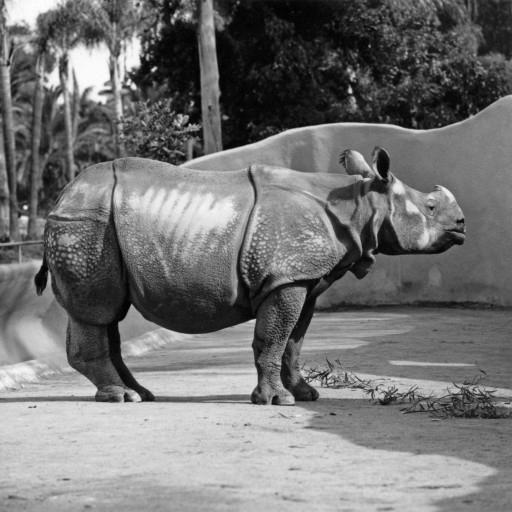 One-year-old Lasai came to the San Diego Zoo from the Basel Zoo in Switzerland in 1963. With his arrival, the Zoo's collection could boast black, white, and greater one-horned rhinoceros species. Each was housed in newly constructed, moated exhibit areas on the large mammal mesa. A volume of correspondence reflected efforts to obtain a mate for him before Jaypuri, a young female born in India's Kaziranga National Park, joined Lasai in 1965. Transferred to the fledgling Wild Animal Park in 1972, breeding hopes ran high for the pair.