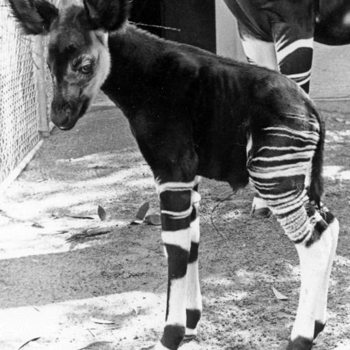 Female okapi Kitambala gave birth to the Zoo's first okapi calf on February 8, 1962. The little male calf was the fourth okapi born in the United States. Because he was so active from the start, the keepers named him Baruti, which means dynamite in Swahili.