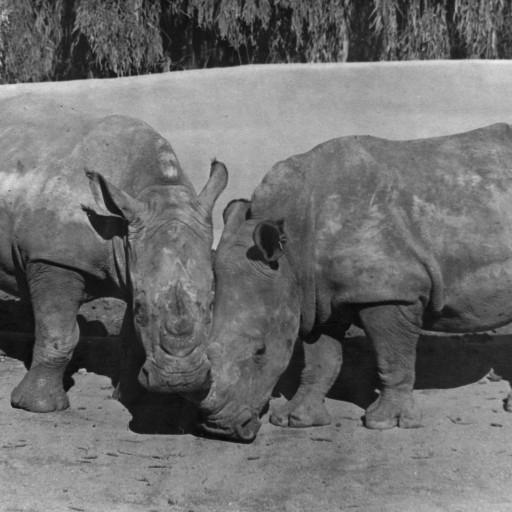 The San Diego Zoo had long hoped for a pair of white rhinos. The arrival of 1,655-pound Mandhla (meaning