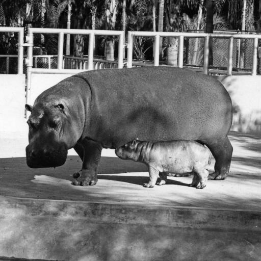 Rubie gave birth to the Zoo's first surviving hippo calf on October 30, 1943, a female named Lotus. The adorable, roly-poly youngster was a big hit with Zoo visitors.