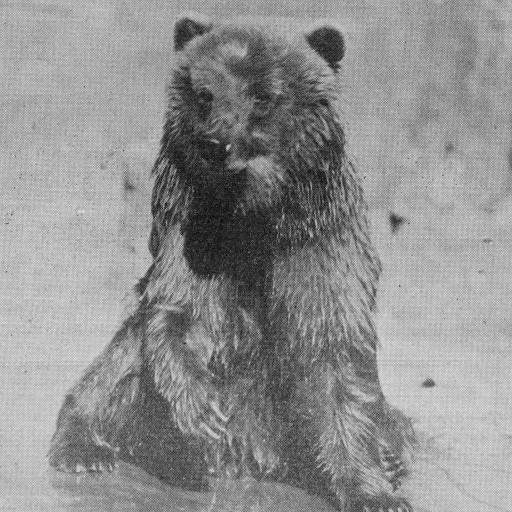 One of the first animals added to the brand-new Zoo was Caesar the bear. She had been a mascot aboard a ship, but became too unruly for the crew to handle. When she disembarked at the harbor, Dr. Thompson drove her to the Zoo in his car!