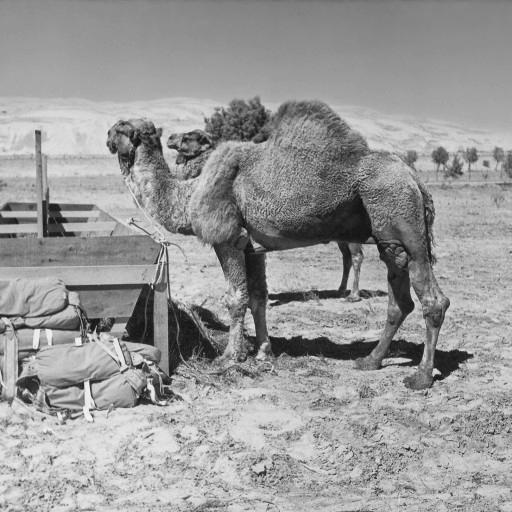 What's even more fascinating is that this was Sheik the camel's second time in the same film—he had also been in the 1926 version of Beau Geste, which also filmed in Yuma, Arizona!
