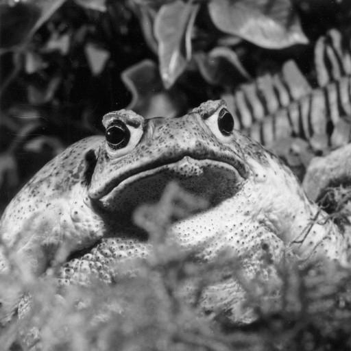 The San Diego Zoo's first amphibian was a marine toad named Tenicatita, after the village near where she was found in southern Mexico. Already an adult when she arrived, Tenicatita lived at the Zoo's Reptile House for more than 16 years.