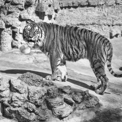 Babe was the Zoo's first tiger. She arrived in 1924 and was the first to inhabit the tiger grotto exhibit funded by Ellen Browning Scripps.