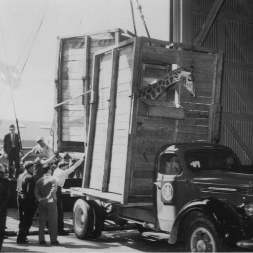 The crates holding giraffes Lofty and Patches are loaded onto the truck from the ship in New York, 1938.