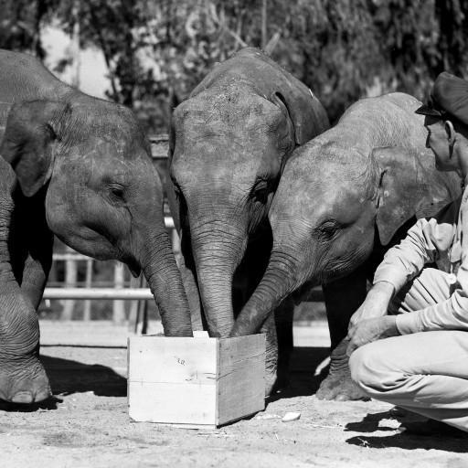 Keeper Robert Cihlar gives the three young elephants a treat.