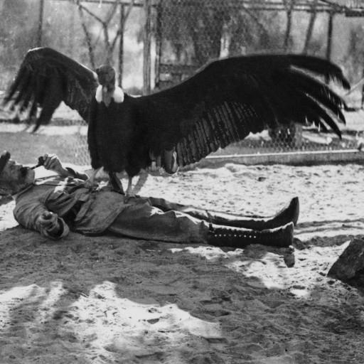 Bum the Andean condor and his keeper, Karl Ring, had an amiable relationship—one that perhaps only they really understood.