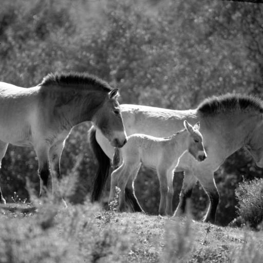 The first birth in the Wild Animal Park's Przewalski's horse herd was a male that was named Vasiliy. His birth was another success in the ongoing efforts to increase the population of this species, the only true wild horse, that was considered extinct in the wild. As an adult, Vasiliy would become the Park herd's stallion for many years and sire several offspring of his own.
