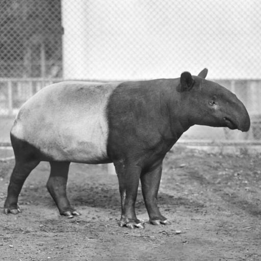 She appears innocuous enough—but in the early 1940s, hearing the name Trudy the Tapir would cause her keepers to shudder.