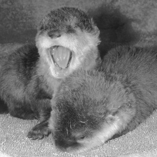 Osborn and Osgood otters surprised their mother and the staff when they arrived in the world on December 10, 1980. Their mother, Renee, and two males, Eric and Todd, all three Asian small-clawed otters, had only been living together in the Children's Zoo's new