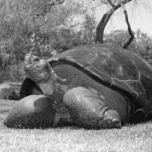 Speed the Galápagos tortoise first came to the San Diego Zoo in 1933. Each of the tortoises has a number, which is painted on their shell for record-keeping purposes, and Speed was also affectionately known among the reptile keepers and to longtime members as