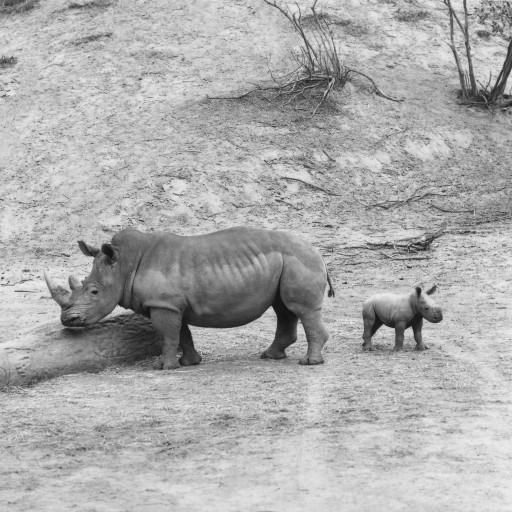 Zibulo's mother was Uhtandi, one of the rhinos that came from South Africa, and his father was Mandhla—the male southern white rhino that had lived at the Zoo since the 1960s with female Tombasan without ever reproducing! Finding out that white rhinos needed a herd to stimulate breeding was one of the early discoveries of the Park's white rhino program.