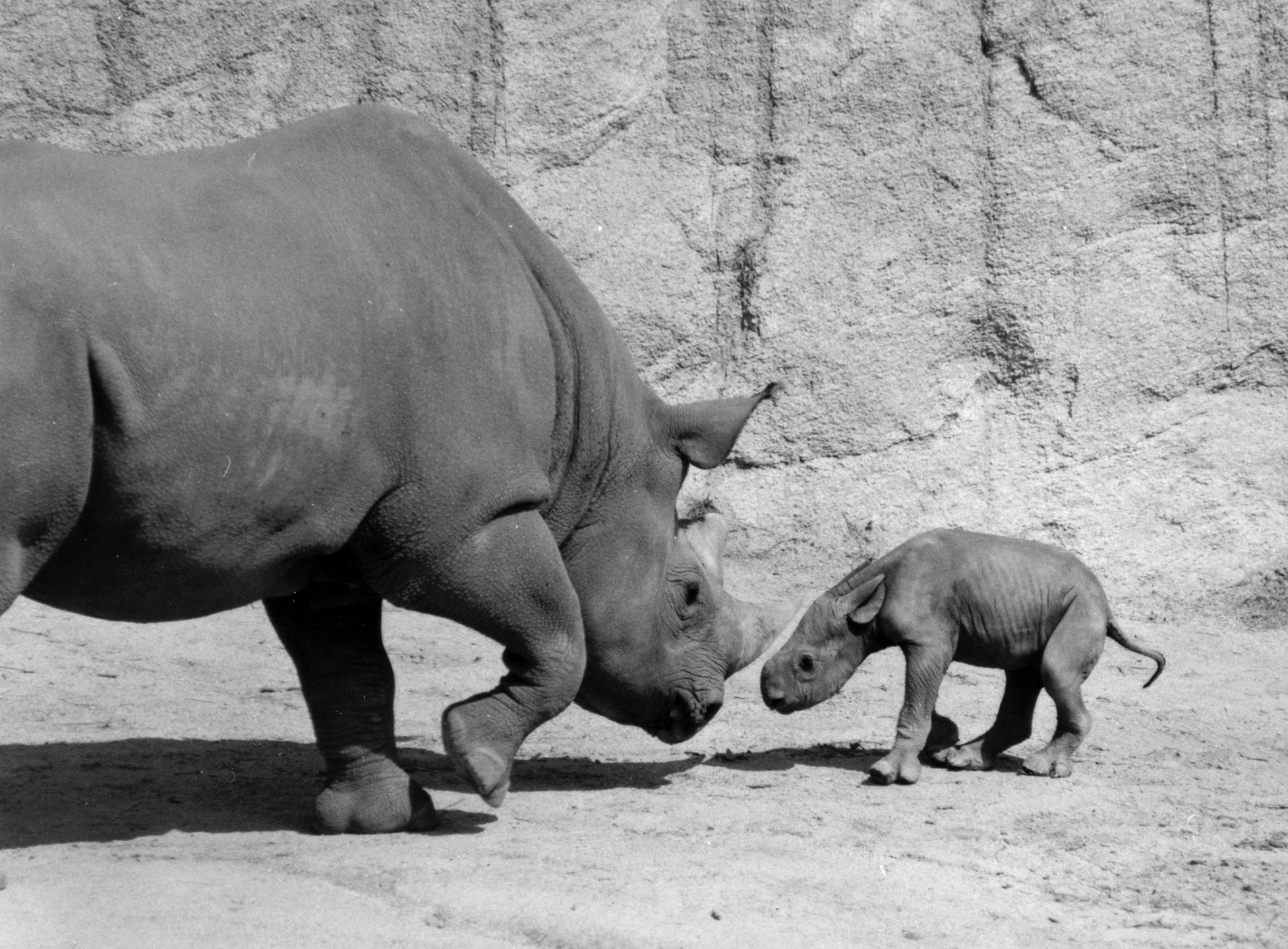 Nanyuki was named after a town in Kenya. Her parents were mother Mulenda (seen with her calf here) and father Dillon.