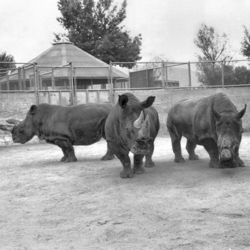 In 1989, three northern white rhinos came to the Park from Dvur Kralov, in hopes of breeding this critically endangered subspecies. Left to right are Nola, Saut, and Nadi. Another male would join the group a few months later: Angalifu.