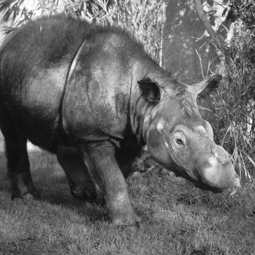 In November 1988, the San Diego Zoo received an unusual rhino species for the first time: the Sumatran rhinoceros. Smaller than other rhinos, reddish in color, and, surprisingly, sporting patches of long, fuzzy hair, this Indonesian species made a big impression. Named Barakas, after a region in Sumatra, this female rhino came to San Diego as part of a consortium that banded together to try to establish breeding pairs of the critically endangered species. Two pairs would remain in Indonesia, and one pair each would go to San Diego, Los Angeles, Cincinnati, and New York. Barakas made her debut at the San Diego Zoo in February 1989, wallowing in her pool and munching on up to 16 pounds of carefully selected browse each day. She would be joined by a male, Ipuh, in 1991.