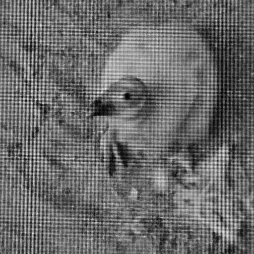 Who's watching whom? Saticoy was the first California condor chick to grow up