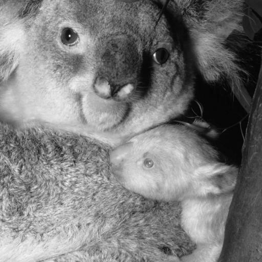 The Zoo's second albino koala was named Onya-Birri, meaning