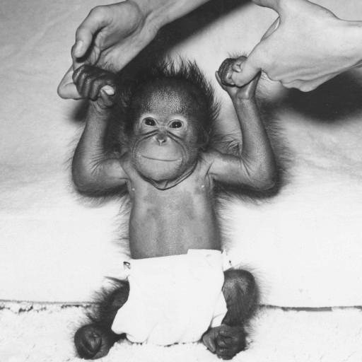 In 1955, the Zoo received a marvelous Christmas gift: a baby girl orangutan, born to mother Batavia and father Ahkup on December 25. It seemed only fitting to name her Noell. First-time mother Batavia didn't know how to take care of the little one, however, so Noell was taken to the Zoo's nursery to be hand raised. She actually had another home away from home, as well: when the nursery caregiver came down with the flu, Noell spent some time at the home of Zoo director Dr. Charlie Schroeder, under the watchful care of Charlie's wife, Margaret. Like her tiny house guest, Margaret also had red hair, and Charlie had a favorite story to tell about their primate babysitting days. One day when Noell was at the house, the mailman, who was friendly with the Schroeders, came by with their mail and stopped to chat. He glanced at the crib in the room, and his eyes widened when he saw Noell. He turned to Charlie, and said rather dryly,