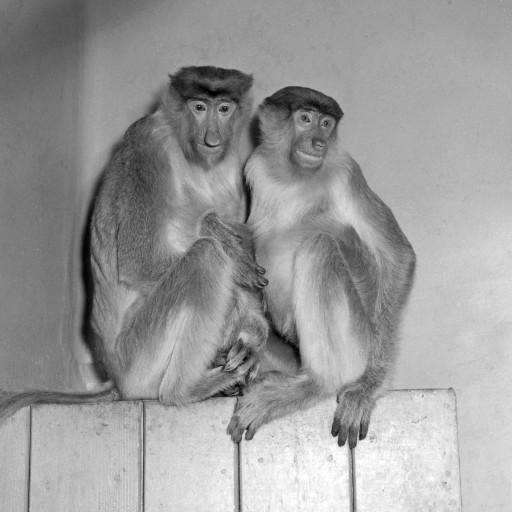 Excitement ran high on January 8, 1956, when a truck arrived at the Zoo from the airport carrying some extraordinary new primates. Proboscis monkeys Cyrano and Roxanne, the first of their species in the Western Hemisphere, had just been flown in from Surabaya, Indonesia to make their new home at the San Diego Zoo. Little was known about this species native to Borneo, so mammal curator George Pournelle made special exhibit arrangements for these rare treasures, housing them in a temperature- and humidity-controlled room of the Reptile House, where the tropical atmosphere of their native habitat could be simulated. Not only was this primate pair a rare find for a U.S. zoo, it also turned out that they represented an international gesture of friendship and goodwill. George Pournelle had originally talked with an animal collector over a cup of coffee, who asked if San Diego was interested in animals from Indonesia. Not really thinking it would happen, George listed some, especially proboscis monkeys. A month later, he received a phone call from the American Embassy in Jakarta, inquiring about an exchange of animals from the Americas for the proboscis monkeys with the Surabaya Zoo. Almost not believing his luck, George made the arrangements to send a pair of spider monkeys, capuchin monkeys, raccoons, and sea lions to Surabaya. And in return, Cyrano and Roxanne came to San Diego. But there was even more to the story. It turned out that the representative of the American Embassy in Jakarta, Wade Brooks, worked on extensive negotiations on the San Diego Zoo's behalf, with the aid of the vice-consul in Surabaya. Wade Brooks even went so far as to build a cage in his own backyard, where the monkeys stayed on a stopover before being able to continue to the U.S. Astounded at the entire sequence of events, George wrote,