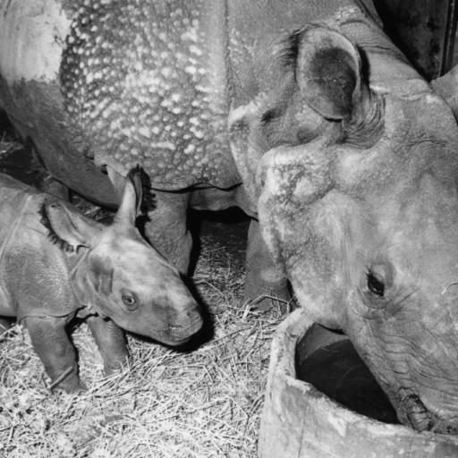 Gainda's birth was especially happy news since Jaypuri had given birth twice before, but neither calf had survived. Gainda was strong and thriving, though, and Jaypuri was proving to be a watchful and doting mother.  With this birth, the Wild Animal Park could now boast having successfully bred three species of rhinos: black rhinos, southern white rhinos, and greater one-horned rhinos. Seeing Gainda running, spinning, and playfully chasing and charging her mother, the keepers and curators were proud of the accomplishments and hopeful for the contributions the Park could make to rhino conservation in the future.