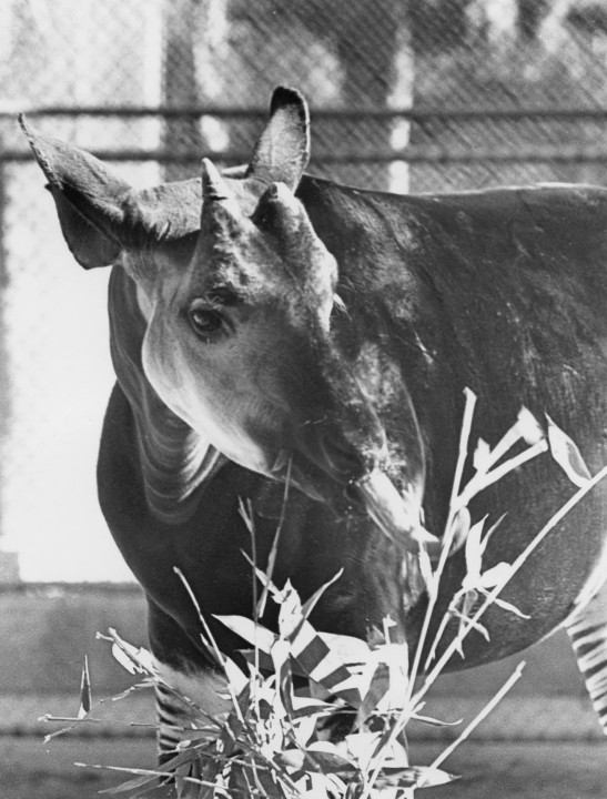 One of the Zoo's wishes came true when a male okapi arrived on November 27, 1956, a gift from the Belgian government. Georges Barthelemy, Belgian Consul at Los Angeles, came to San Diego to present the rare animal to the Zoo, and even San Diego Mayor Charles Dail came to Lindbergh Field to see the remarkable new resident.