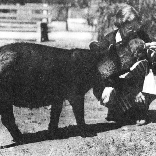 When Mickey, a young Baird's tapir, arrived at the Zoo in 1934, she was was thin and sickly, and she wouldn't eat. Belle Benchley had Mickey moved near her office so she could keep an eye on her and take care of her. The next morning, Belle cooked a mash of ground corn, oats, and milk, brought the pan into Mickey's pen, and sat down near it. Mickey came to investigate, and seemed interested in the food. She turned to Belle, who patted her encouragingly. Mickey began to eat, stopping periodically to get more pats from Belle. Every morning for the rest of the summer, Belle came to the Zoo at 7 a.m. to give Mickey her breakfast, accompanied by petting and scratching. Mickey grew healthy, strong, and glossy—and she grew quite attached to Belle, as Belle did to her. Even after Mickey moved on to her own enclosure at the Zoo, all Belle had to do was come by and call her name, and Mickey would come trotting up to see the surrogate mother who had saved her life. Zookeepers call the group of animals they regularly care for their