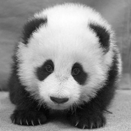 """Hua Mei grew quickly from that little white baby into a robust, healthy, and rambunctious cub. Following Chinese tradition, she was named at 100 days old with a joyful celebration on December 1, 1999, at the Zoo that included the Chinese Consulate. Her name was chosen by the Zoo's Chinese colleagues, meaning """"China USA"""" to honor the important collaboration between the two countries to save pandas."""