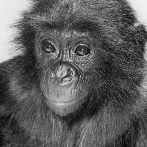 Kakowet, whose name comes from the sound of the French word for peanut, came from the Leopoldville Zoo in the Congo Republic, where he was doted on and given special privileges by Leopoldville Zoo manager Willy Peeters. Kakowet was donated to the San Diego Zoo, and on his flight to the U.S., he was even given the run of the plane and befriended the crew! Once he arrived in San Diego in June 1960, he settled into his new home in the Children's Zoo, and he charmed his way into everyone's affections there, too. And he had plenty of playmates—the little