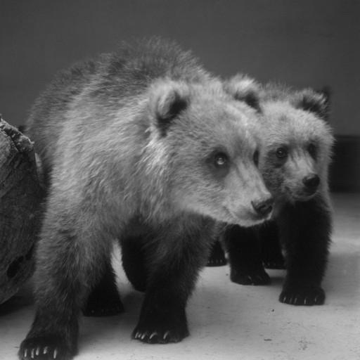 Found wandering in Alaska without a mother, two Alaskan Peninsula brown bear cubs were rescued by the Alaska Fish and Game Department and given to the San Diego Zoo in 1985. The brother and sister were named Spanky and Sheena, and after a month quarantine period, the two rambunctious cubs met their adoring public. With all the energy of two growing bear cubs, they chased each other, wrestled, jumped in and out of the pool, climbed, and ate their fruit, eggs, fish, and bear biscuits with gusto. The only time they seemed to be still was nap time—and that never lasted for long!