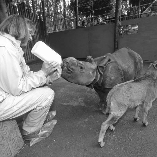 In the early morning of November 28, 2001, keepers discovered a greater one-horned rhino calf had been born, but had been rejected by his mother. The night had been very cold and he was in serious condition, so keeper Gloria Kendall put her coat around him and hugged and rubbed him to try to warm him up in the back of the truck as keeper Larry Schiffer drove to the Park veterinary hospital. No one was sure the calf would survive, but after intensive care for several days, Choto, as he was named, began to improve. He chugged 6 1/2 gallons of specially mixed rhino formula a day and put on weight, and the staff knew then that he would make it. Choto was the first greater one-horned rhino to be hand raised at the Park, and he grew to be an outgoing, energetic guy that loved attention from his caretakers. He also had another buddy: a young Barbary sheep, and visitors gathered at the Park's Petting Kraal to see the two youngsters chasing each other, playfully head butting, and just hanging out together in quieter moments.