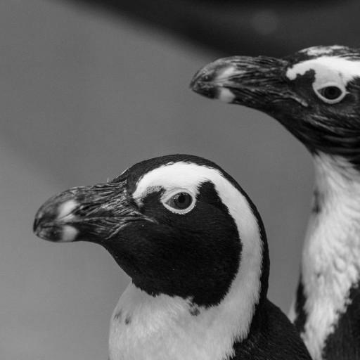 African penguins are warm-weather penguins, native to the rocky coastlines of southern Africa. The African penguin is the most endangered penguin species, and when McKinney and Dan join the newcomers that will make up the colony at Conrad Prebys Africa Rocks, the Zoo's curators and keepers hope for breeding to help bolster the species population.
