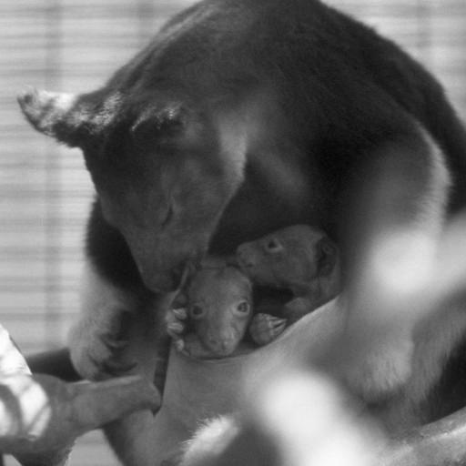 Bentley and Summer, twin Goodfellow's tree kangaroos, shared their mother's pouch until they were nine months old, approaching weaning, when their quarters just got a little too snug. Bentley ended up on the losing side of the occupation, but keepers took him to the Children's Zoo nursery, where he was soon getting lots of attention from staff and visitors—and he went on to be a popular animal ambassador.