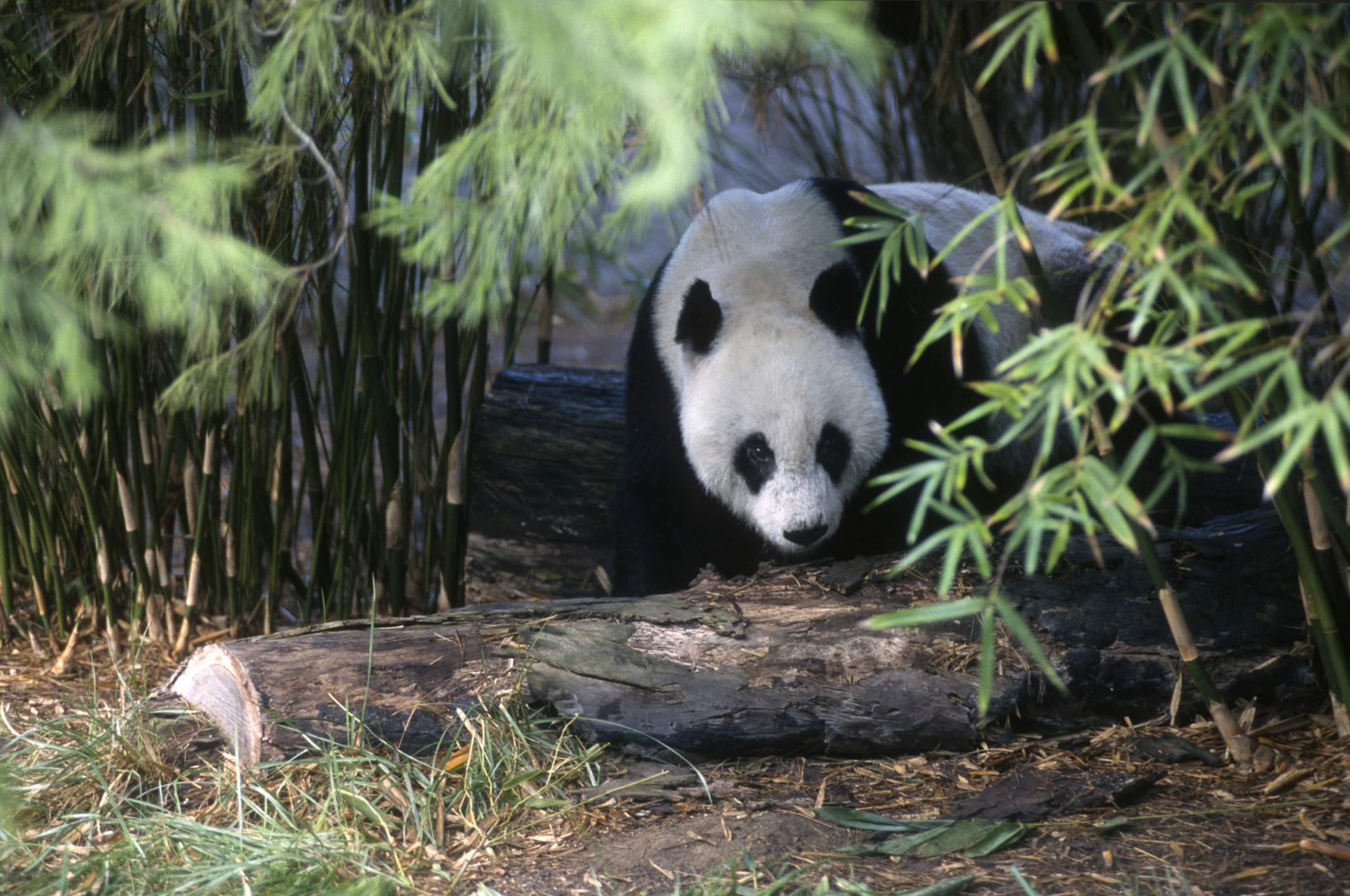 When keeper John Michel met Shi Shi at the Shanghai Zoo, he noted the male bear's more reserved personality.