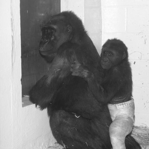 Kamilah and Ndjia spent the month when Ndjia's leg was in the cast in their own room of the Wild Animal Park's gorilla bedroom area, to minimize chances of any further injury. They continued to see, smell, and communicate with the other gorillas during the recovery, and when they were reunited with the troop after Ndjia's cast came off, they were welcomed back and all was well. As Ndjia's leg healed, filled out, and grew, she continued romping with the other youngsters, and she even began giving the littler ones piggyback rides!