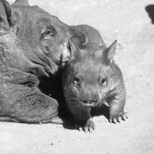 Kindyerra (left) and her joey Kindilan were very close, and they could often been seen playing and resting together, usually with one resting her head on the other.